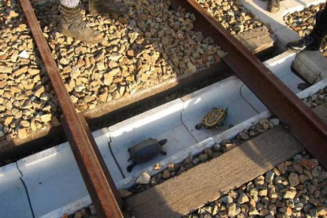 tortugas Japón