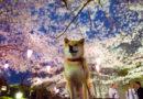 Marutaro: El Shiba Inu que tiene su propio museo, tres libros y es embajador