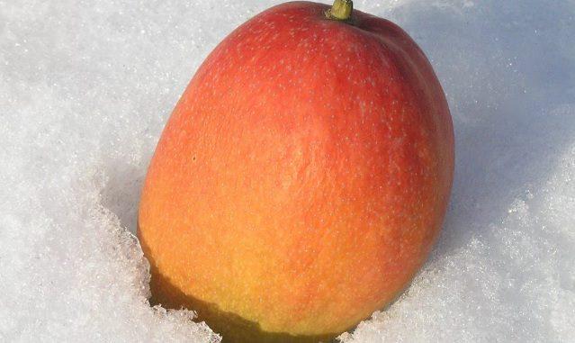 Hokkaido mangos de nieve