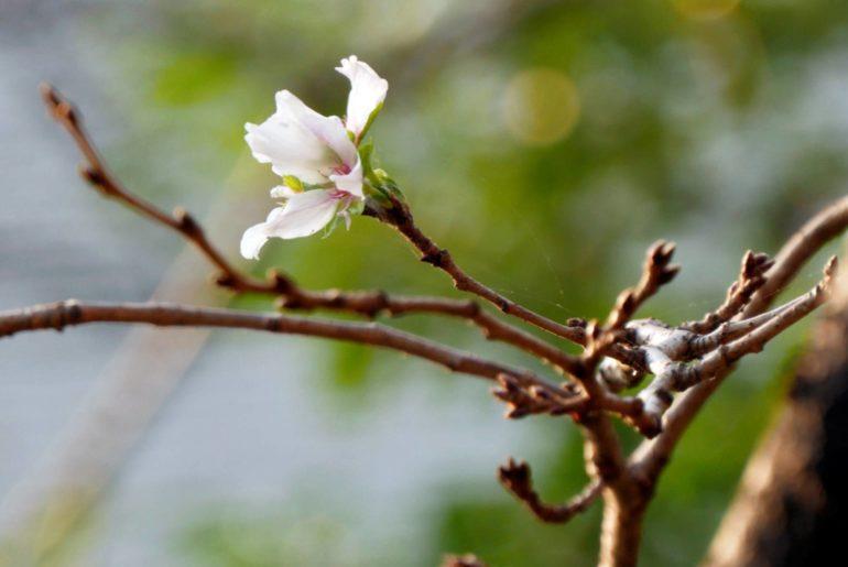 flores de cerezo otoño