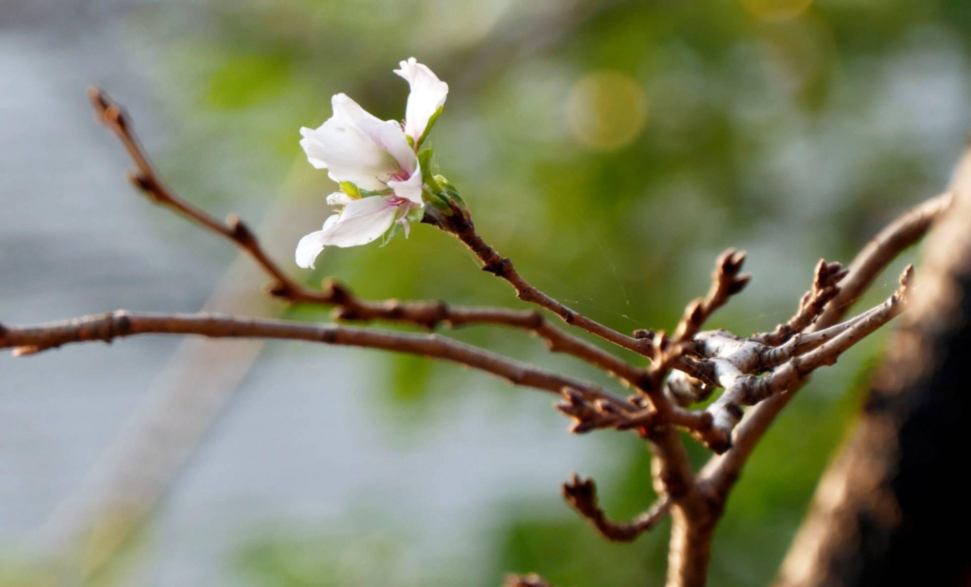 Las Flores De Cerezo Florecen Por Sorpresa En Pleno Otoño