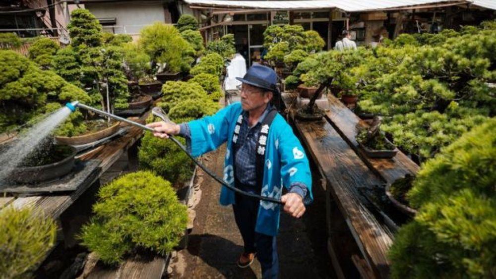 Roban un bonsái de 400 años