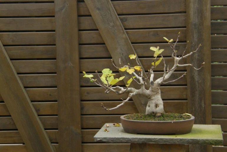 bonsáis robados en Japón