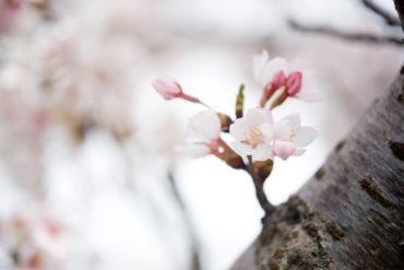 Predecir la floración de cerezos