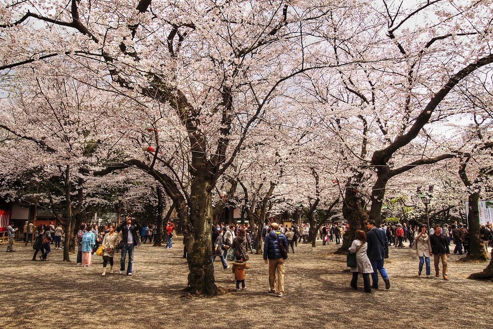 tokio flores de cerezo