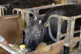 Kaga la primera vaca clonada del mundo