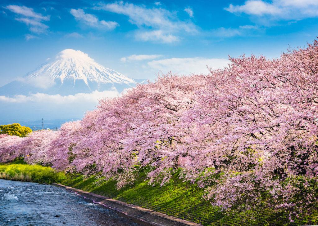 Cerezos en flor en Japón, primer pronostico para 2020