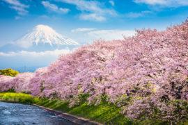 flor de cerezo japón 2020