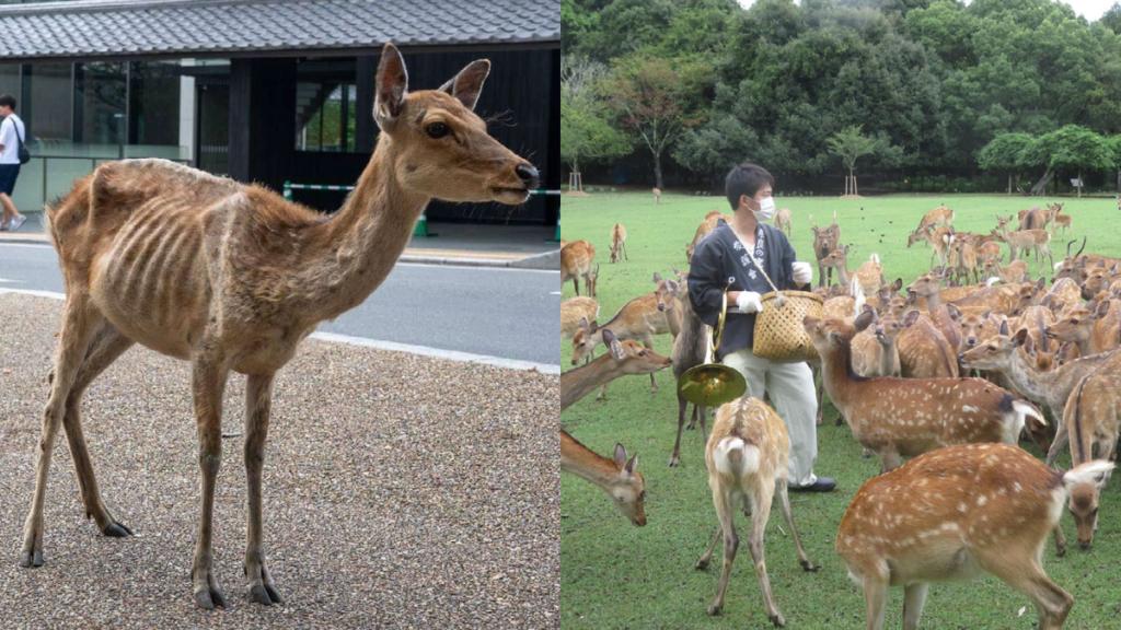 La situación actual de los Ciervos del Parque de Nara
