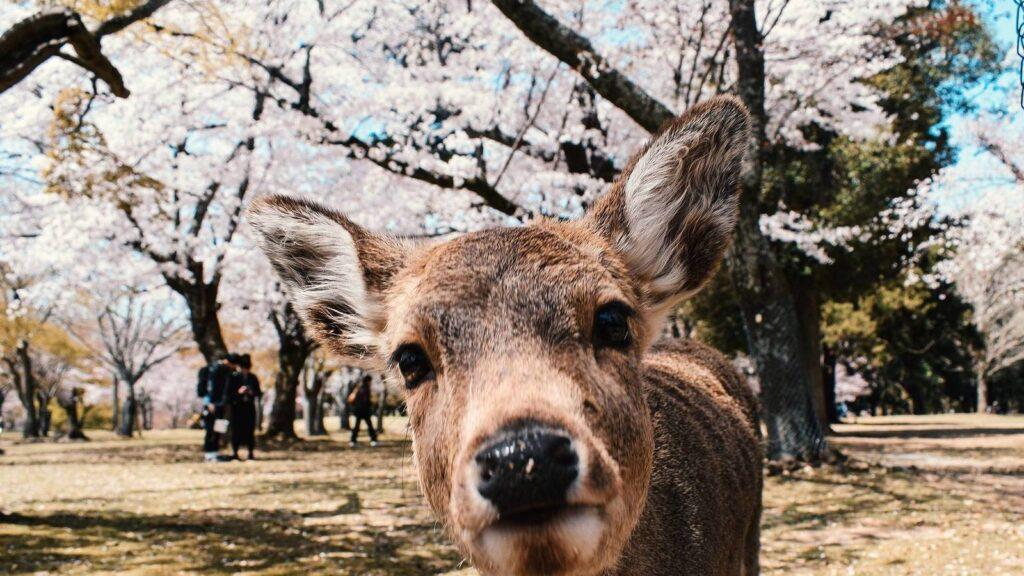 Japonés arrestado por matar a un ciervo en el Parque Nara