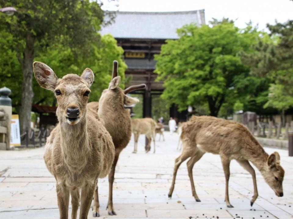 japonés mata ciervo en nara